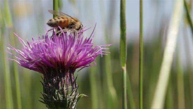 abeille fleur de chardon