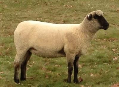 moutons Shropshire
