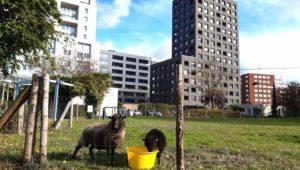 Eco-pâturage : quand moutons et chèvres <br>remplacent les tondeuses