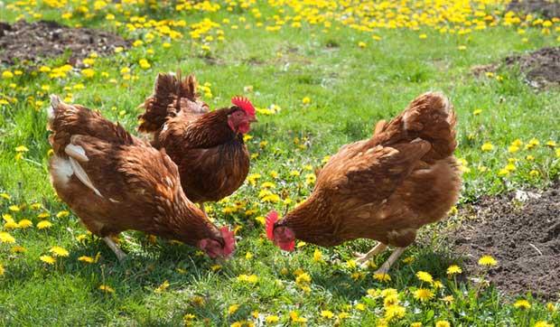 Potager et jardin : Tous les avantages d'adopter des poules !