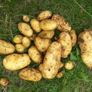 Potager : Les pommes de terre sur gazon, ça marche !