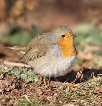 Appel à répertorier les oiseaux des jardins