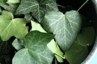 lessive aux feuilles de lierre