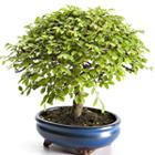 Le bonsaï Botanic