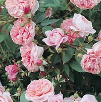 rosier Colette
